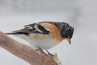 Mountain finch (Fringilla montifringill)