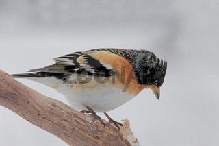 Bergfink (Fringilla montifringill)
