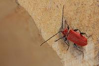 Welsh oak longhorn beetle (Pyrrhidium sanguineum)