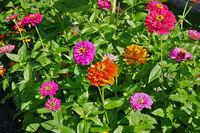 common zinnia, garden zinnia