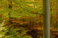 common beech, european beech, in the autumn forest