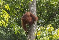 Orang-Utan Mutter mit ihrem Baby klettert an einem Baumstamm