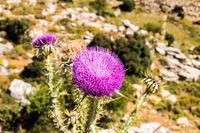 Thistle is the common name for a group of flowering plants