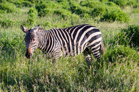 Solitary zebra in the tall grass