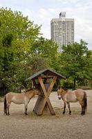 Przewalski horse (Equus ferus przewalskii), zoo, Cologne, North Rhine-Westphalia, Germany, Europe