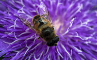 A pretty purple dahlia flower with a bee crawling on it