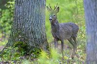 Ein Rehbock im frischen Gruen eines Rotbuchenwaldes / A Roebuck in the fresh green of a beech forest / Capreolus capreolus