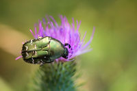 Close up of a rose chafer on a milk thistle.