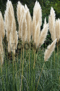 Close-up image of Pampas grass in blossom