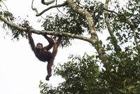 Orang-Utan, Wildlife Centre, Semenggoh Nature Reserve, Siburan, Sarawak, Malaysia