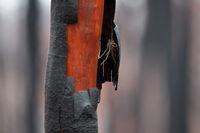 Hairy spider under shedding burnt bark after bush fire