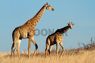 Giraffes in open grassland