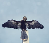 Anhinga spreads its wings