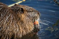 Nutria or Coypu (Myocastor coypus) nibbles on a friut while sitting in a pond