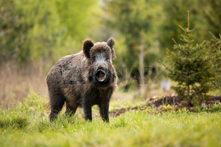 Adorable wild boar, sus scrofa posing and smiling into the camera in the forest