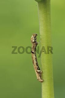 Zackenbindige Rindenspanner Raupe (Ectropis crepuscularia)