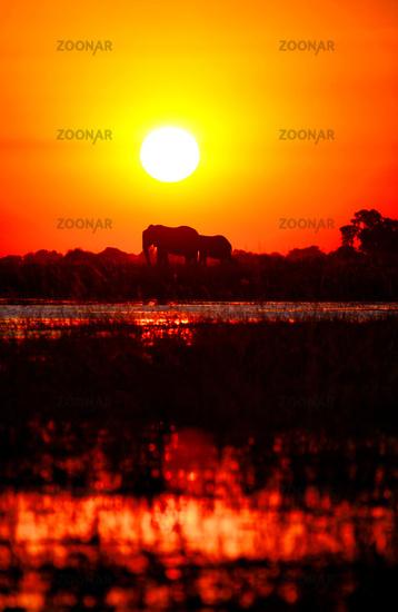 Elephants in the sunset at Chobe river, Botswana
