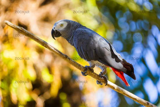 Gray African Parrot in Bali Island Indonesia