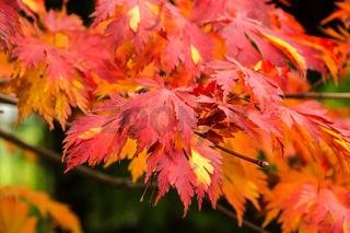 Ahorn mit Herbstfaerbung