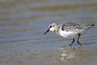 Sanderling immature plumage