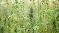 Marijuana plant at outdoor cannabis farm field