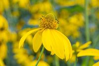 Beautiful yellow flower of Jerusalem artichoke, root - source of inulin
