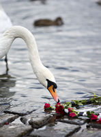 Roses and the Swan