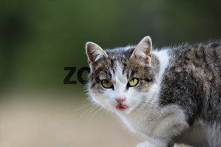 portrait of a domestic cat over green out of focus background
