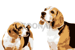Beagle dog isolated on white background. The beagle is a breed of small hound that is similar in appearance to the much larger foxhound