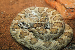 captive crotalus viridis. prairie rattlesnake