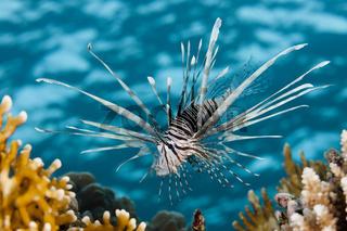 Rotfeuerfisch, Aegypten