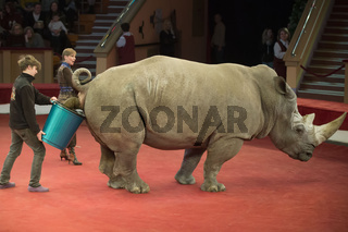 Belarus, Gomil, February 16, 2019. State Circus. Program Bravo Bravissimo.Trained rhinoceros in the circus wanted to go to the toilet. Animals in the circus