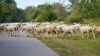 Landscape conservation by a flock of sheep on the Elbe cycle path in Herrenkrug near Magdeburg