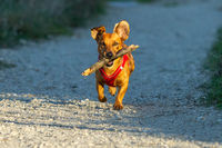 Young brown mixed breed dog running with a wood stick in his mouth in the bright sunlight in autumn.