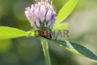Blühender Wiesenklee mit Marienkäfer
