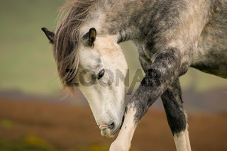 A wild horse in Wales, UK
