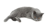 beautiful gray cat isolated on white background.