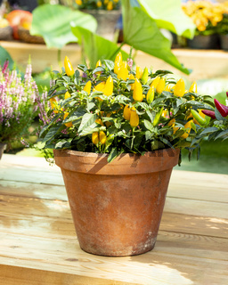 Mini hot chili peppers in a clay flower pot. Vegetable jalapeno peppers yellow ripe bright bush Harvest Festival
