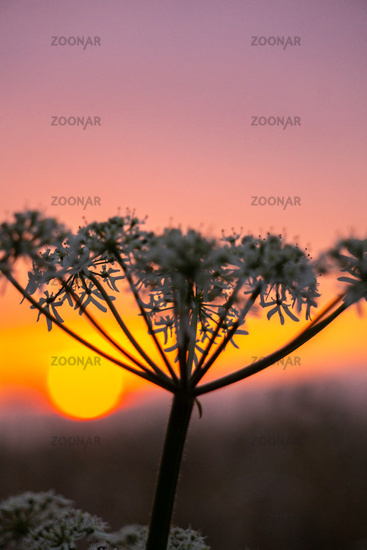 White Flower in front of a beautiful sunset