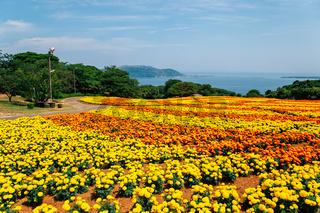 Colorful flower field with blue ocean at Nokonoshima island park in Fukuoka, Japan