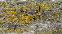 Wooden Wall Board Background covered with green moss and yellow lichen.