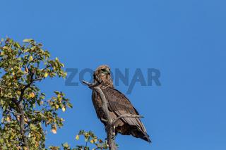 majestic tawny eagle Botswana Africa safari wildlife