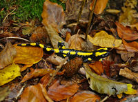 fire salamander, spotted salamander
