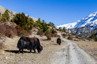 Yaks in the Annapurna Conservation Area, Nepal