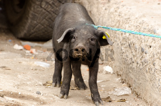 Schwein auf einem Markt in Südamerika