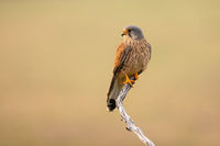 Male common kestrel sitting on branch in spring nature.