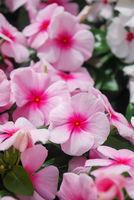 foliage vinca flowers, rose pink vinca flowers (Madagascar periwinkle)