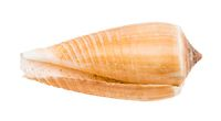 empty shell of cone snail isolated on white