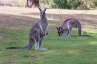 Two kangaroos on a grassy patch near bush land