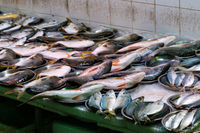 variety of fish on fisher or seafood market for sale